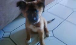 Beautiful German Sheperd/mix, She's 7 weeks old, female, very playful and great eater......She gets along with kids and listens to some commands....Yes that little she's amazing.........She's being potty trained and goes outside most of the time. She