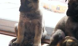 9 weeks old AKC registered German Sheperd puppies...Beautiful dogs!! $300.00