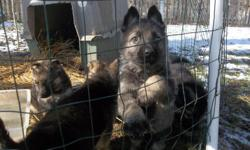 I have1AKC registerd female---German blood lines --All shots-- worming current --Health guarantee -mother on sight ------ask for James ---located in Richmond Indiana