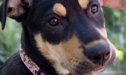 Daisy is a 7mth old German Shephard/Rottweiler mix. She is a beautiful dog who loves playing with other dogs. She is good with kids of all ages. Daisy is kennle trained and still in the process of being housebroken. She also doesn't bark at other dogs or