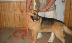 Two year old black&tan male CKC registered, shots , house broke, nice disposition and great conformation, a real RIN TIN TIN. Will make a great family pet, good with kids. His name is Teddy Bear and his a good dog I have to many males in my kennel and