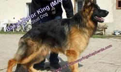 GERMAN SHEPHERD puppies, AKC, World Champion pedigree, working class dogs, European imports, short & long coats, You can't find a better pedigree or finer dogs in this area, ready now $650 with AKC- Limited Reg, and the pictures is of are our fully grown