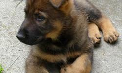 Exceptional Working German Shepherd Litter. Prospects for SAR, Family Companion, Obedience, Tracking, Personal Protection, Schutzhund, Law Enforcement, Explosives, Narcotics,or Cadaver detection. Puppies are vac. microchipped, and come with AKC Reg. and a