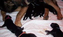 8 healthy German Shepherd pups born May 16, 2011 Israel & Levi are proud parents to their second litter, these are working class GSD lines with excellent drives.These pups will be smart and eager to please. We have carefully chosen our dogs based on their