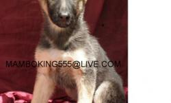 German Shepherd Female Pup 3 MONTH Old, GETS ALONG WELL WITH OTHER DOGS, GREAT AROUND WITH KIDS, SHE VERY SWEET, NOBLE AND LOYAL, NOT AGRESIVE IN ANYWAY´S Has Been Given First Set Of Multiple Shot Against Parvo And Parasites, Also Been Dewormed More