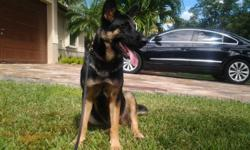german shepherd female black and brown 9 months old all immunization done, clean and well balanced, house broken, good with kids, microhip id from home again, good for protection or companion, 100% german peddigree call Alice at ( )-