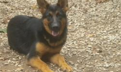 German Shepherd For Sale!!!! Imported Iines!! There is only one Female left. She is Black and Red, and AKC reg.Her Grandsire was a 2x World Champin. Her mom(Dam) is Black and Red like her, and her dad is Black and Tan color. She is great with kids.