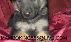 GREAT GERMAN SHEPHERD PUPPY , IS LOOKING FOR THAT WONDERFULL HOME WITH A BIG YARD, VERY ACTIVE PUP, PLAYFULL, LOVES CHILDREN, WILL BECOME AN EXCELLENT GUARDIAN, HIS VERY SWEET AND NOBLE, GET´S ALONG WELL WITH OTHER DOGS, HE IS HOUSE BROKEN, AND POTTY