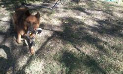 I have a beautiful GSD mix. His name is Wolverine, and he has been neutered, microchipped, and vaccinated. I found him on Craigslist about a year ago. We were looking for a GSD (we really love the breed) mix that was good with kids. The owner lied and