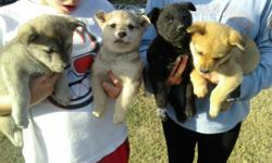 very cute german sheperd mix puppies for sale. They all have their first shots and all female, they are mixed with lab. For more information or pictures please contact the number listed.