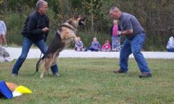 SKY is a 2 1/2 year old German Shepherd with outstanding bloodlines. Sky has been trained by an AMA Master Trainer with over 35 years Law Enforcement K9 Experience. Sky is already trained and qualified for personal protection & obedience. He excels at