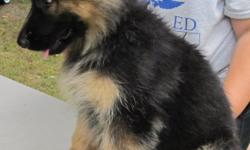 Longcoat AKC German Shepherd puppies. 2 males. 1 female. 11 weeks old. Beautiful rich black/red or black/tan. Both Dam & Sire on premises. Microchipped. Calm and even temperment. Well socialized with the help and TLC of ourgrandchildren. Vet-checked with