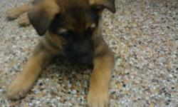 German Shepherd puppies (3 male, 1 female) born March 27th, has had first set of shots, German bloodline. Please call 405-245-1506