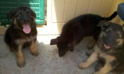 We have three beautiful puppies left who are looking for a nice home. They were born June 19,2011. Both parents are german shepherds and live on premises. The puppies are ready to take home and get shots. Please call or text for more information.