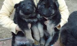 GERMAN SHEPHERD PUPPIES, AKC. SNOWCLOUD KENNELS AND VON DER HAUS KENNELS BLOODLINES. ONE LARGE MALE AND FOUR FEMALES LEFT. PRICE REDUCED TO $350.00 FOR CHRISTMAS. FIRST SHOTS, VET CHECKED, PAPERS ON HAND. BOTH PARENTS ON SITE.