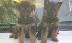 (7) weeks old (4)males and (3) females. AKC registered. Black/red. Se habla espanol