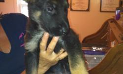 AKC registered. Three females left. 1st shots and wormed. Whelped on 4th of July. Ready to go. Call 561-688-3540, after 5 pm.