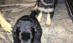 AKC German Shepherd Puppies, 2 females 1 male. Will be ready for new homes Novemeber 29, 2012. Parents on site, momma is a great companion and daddy is a great on command guard dog. Will have first set of shots, and come with paper