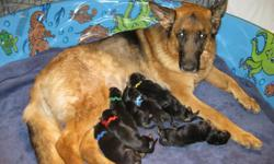 German Shepherd Puppies - Top Show Quality - Excellent Bloodlines All puppies will be registered with the AKC, and have a 24 month guarantee on hips and elbows. We also guarantee our puppies will be free of genetic defect. Gandhi (Sire) was born in