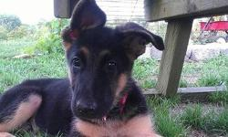 we have 2 beautiful akc german shepherd puppies,females,12 weeks old,father is a akc american champion,they are blk&tan,shots,wormed,,,we own both parents,,,,long time breeder,,,