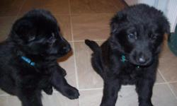 Litter was welped on 1/15/2011. 6 boys, 5 girls. Still have some available. % weeks old right now.. will be ready for their new homes soon. AKC registered..will be UTD on vaccinations. Call for more information. 931-858-7484 or e-mail