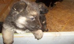 akc german shepherd puppie 1 girl - all shots -wormed - health guarantee $400 each   --located in richmond Indiana --------james >>>>>>>>>>>>>
