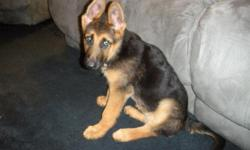 12 week old full breed German Shepherd Puppy with AKC papers, all proof of shots, etc. The parents are working lines European imported dogs (pedigree papers on hand), and are red/black. Asking $1,300 FIRM!!! Call Joe at --.