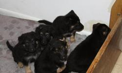 we have 5 german shepherd pups 2 boys 3 Girls Mom and Dad are on sight they are not paperd but are 100% german shepherd.they have had there 1st set of shots and have been dewormed call 303-922-0947