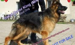 German Shepherd puppies ,AKC,imported parents,DNA certified and Hip dysplasia x-rayed .Best of the best in area ,All our dogs are on premises,Max and Viki have been trained for police work.Our puppies have been handled by adults and children,they are