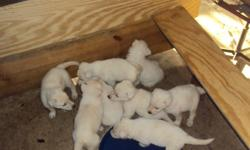 Registered 8 puppies for sale. Males are 400 and Females are 350. Parents are on premises. Please call George Harris 972-276-7602