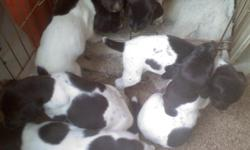 German Shorthair puppies for sale. 5 males and 2 females. Shots, dew claws, and tails are done. Great bloodlines. Sire has his JH title and his pedigree has MH and SR. Dam is a great hunter, a natural retriever and companion. Puppies are ready to go and