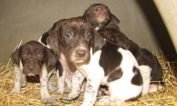 These puppies are going FAST! German Shorthair puppies for sale. We have5 males. These puppies are purebred but do not come with papers. Mom & dad are on site and both are proven hunters. The pups do have their tails in
