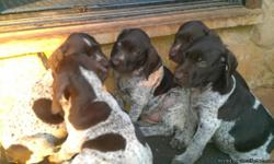 CHAMPION BLOODLINE,EXCELLENT FAMILY PETS AND HUNTING DOGS. BOTH PARENTS ON SITE. CALL FOR MORE INFO --