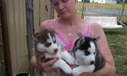 i have lovely Siberian husky puppies looking for a new home,there are akc register and well vaccinated,love playing with kids and other home train pets,free to contact
