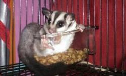 I have a girl sugar glider to rehome. She is 2years old. And she is what you would call standard grey.She eats a variety of diets. I changed her from sun coast to priscilla to bml. She isnt picky. She is semi-social. I play wit her alot, or