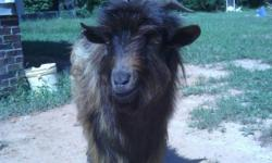 Long haired billy. Around two years old. $75 obo. Clover SC. Call or text.