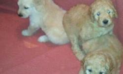 Golden Doodle Puppies, 7weeks old, non shedding loveable Teddy bears. 2 Cream, 1 Apricot . CKC reg. Hots and Health Guarantee HOME Raised. Will hold for Valentines Day with a Deposit.