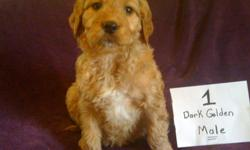 Golden Doodles 8 weeks old 2 males and 3 females Vet. checked, shots, and Dewormed. Ready for their new homes. Call 601-707-0960
