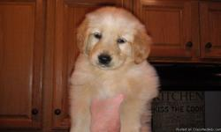 Six weeks old full blooded golden retriever female puppy.