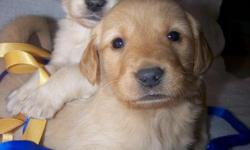 We have registered Golden Retriever Puppies for sale to good homes. They are unbelievably cute :) Golden Retrievers are good natured and extremely friendly dogs. Our dogs are farm raised, family pets, and not kennel kept. Call 417 261 2321