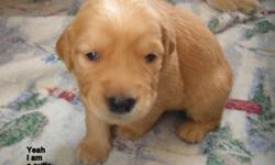 Beautiful AKC Golden Retriever Puppies raised in a loving home environment. Mercedes Champagne Mist and Forand?s Gentle Ben have done it again. They have had 6 boys and 4 girls. All are light to medium golden in color. Breeder with 7 years of successful