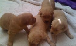 Pure bred golden retriever's for sale. Both mom and dad are here. There are 2 Male's left, one light and one dark. We're selling the Male's for $250, along with a $10 first shots/de-wormer fee. Please let me know if your intertested in one of these