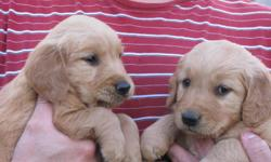 AKC Registered. 6 Females, 6 Males. Parents on site. Beautiful litter. Born Dec 5, 2010. Ready to go Jan 22nd. Now taking deposits to reserve. We are hobby breeders who have owned & loved goldens for 20 yrs. Our puppies are born & raised in our home with