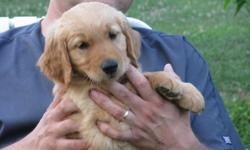 AKC Registered. Only 2 Males left. Beautiful Litter. Parents on premises. Born Dec 5, 2010. Ready to go NOW!!! Our puppies are born & raised in our home with much TLC & socialization. We are hobby breeders who have owned & loved goldens for 20 yrs.