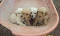 """Beautiful litter of AKC registered Golden Retriever Puppies for sale. There are 5 males and 4 females. The parent dogs are our pets and are on site. You may view pictures of the whole """"family"""" (including parents) by going to"""