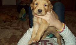 Golden Retriever puppies.  AKC and CKC registered.  Ready to go beginning January 2. Males $250, Females $300.   Mom and Dad on premises.  Call --.