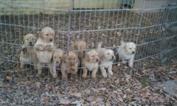 I have 6 Golden Retriever puppies for sale...2 girls, 4 boys. Dad is a beautiful, giant baby(Dark Red) and Mom is a quiet, sweet and smart lap baby(LIGHT BLOND) They are 7 weeks now and ready to go to new homes. Please call 423-847-5411.