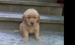 We Have CKC registered golden retriever Puppies..3 males and 1 females 7 wks old.....They are smart loving and very loyal pups. This Breed of dogs are great family pets.....These have alot of tlc and attention.....I have 3 young children so now they