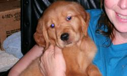I have 1 female Golden Retriever puppy for sale. She is 10 weeks old has had shots and wormed. Doing great on potty trainning. AKC regesterable. I live in Trevor , Wisconsin