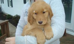 Adorable male and female puppies. Had firstvet check, shots, and wormed. Parents on farm...red goldens. These puppies love to be loved. Born 9/1/12. Weaned and eating Purina Puppy Chow. Ready for happy, new